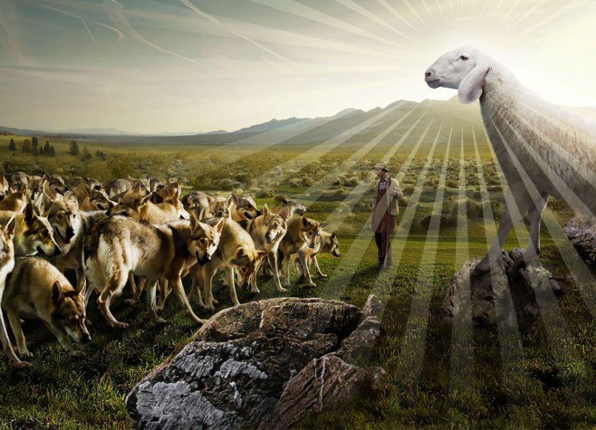 agnello contro i lupi